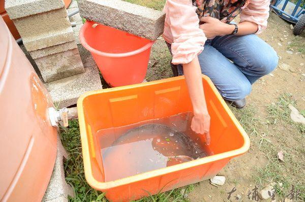 紙教堂園區捕獲外來物種泰國鯰魚,威脅本土蛙類生態。(柏原祥攝)