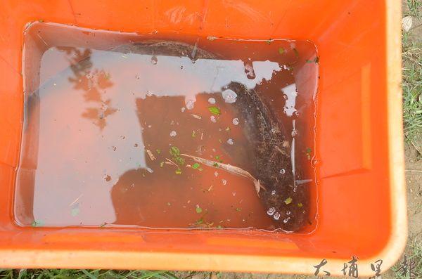 泰國鯰魚體型比本土土虱大上很多,在台灣幾無天敵。(柏原祥攝)