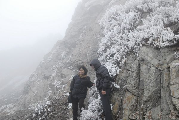 合歡山降下冰珠,植物上並披掛一層霧淞。(張君宏攝)