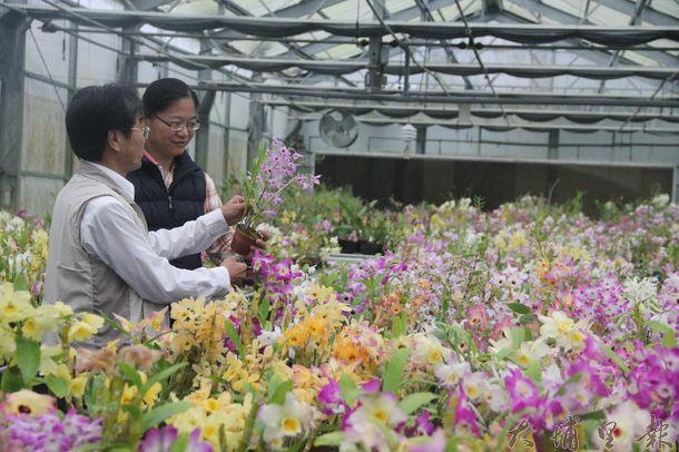 台灣春石斛蘭的研發基地在魚池鄉,未來商機難以限量。(黃彥文攝)