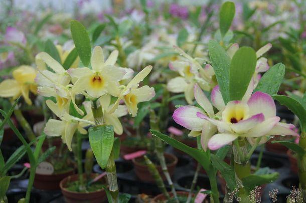 新品種春石斛蘭花色多元、花朵造型充滿變化。(黃彥文攝)
