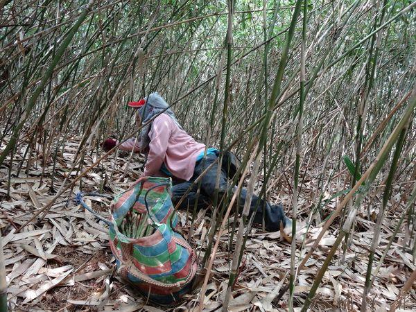 採箭竹要跪趴在地上好幾小時,過程相當辛苦。(吳宗澤攝)