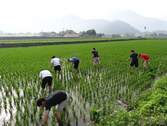 暨南大學公益服務學生,來到田裡幫忙農民抓螺、除草,順便認識友善生產之環境。(吳宗澤攝)