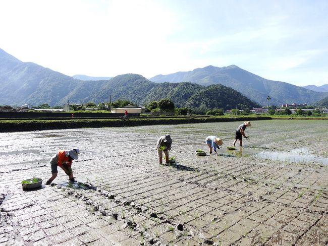 穀笠合作社成員前年自己育苗,和農友一起下田手工插秧八分地。(吳宗澤攝)