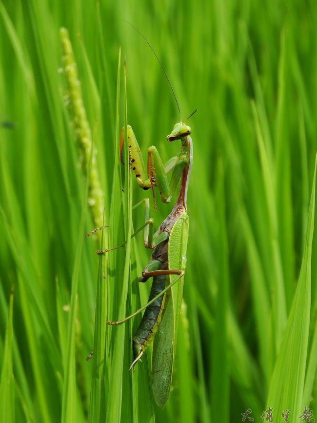 穀笠合作社契作農田裡的螳螂。(吳宗澤攝)