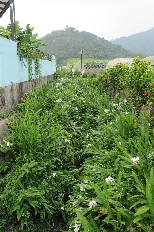 牛尾農村社區的志工們細心維護野薑花,創造美麗景觀與飄香的情境。(柏原祥攝)