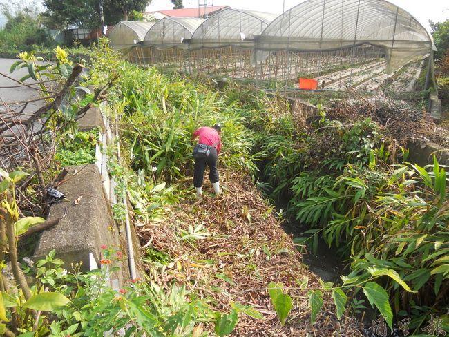 牛尾農村社區的野薑花並非野生,而是志工細心除草、栽植,創造了「野薑花的回憶」。(圖/牛尾農村發展協會提供)