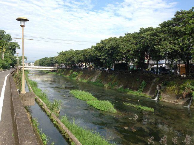 杷城排洪道的茄苳樹終年綠意盎然,埔里鎮公所以人行道工程為由,決定將樹木移植至牛眠堤防。(柏原祥攝)