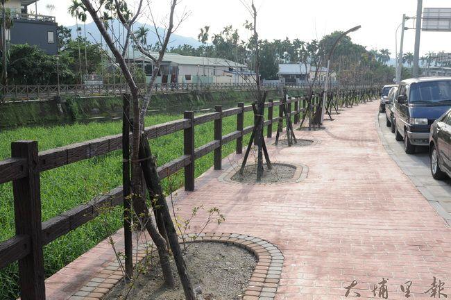 杷城排洪道鄰近十八度C巧克力工房附近的櫻花樹苗,入秋後樹葉凋落。(柏原祥攝