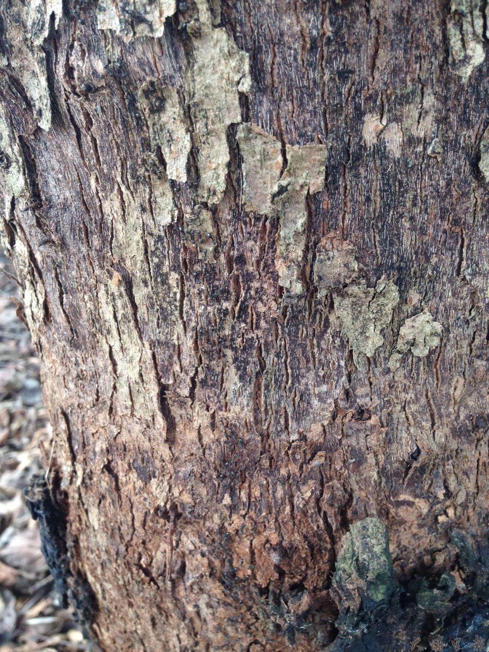 同聲里、清新里有里民指南安路茄苳樹造成蟻害,但護樹人士指出那是因為樹木環境不健康所致。(柏原祥攝)