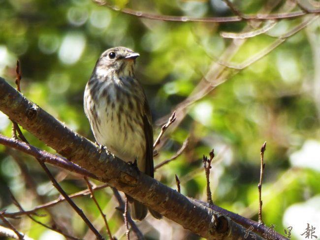 在奧萬大新紀錄到的灰斑鶲算是過境鳥的一種,夏天的主要繁殖地在中國大陸漠北至西伯利亞地帶。(圖/南投林管處提供)