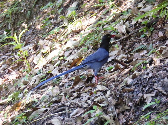 臺灣藍鵲具有美麗的長尾,又名長尾山娘。(圖/南投林管處提供)