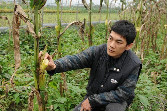 返鄉青年農民洪健智整園的玉米被偷,讓他感到欲哭無淚。(柏原祥攝)