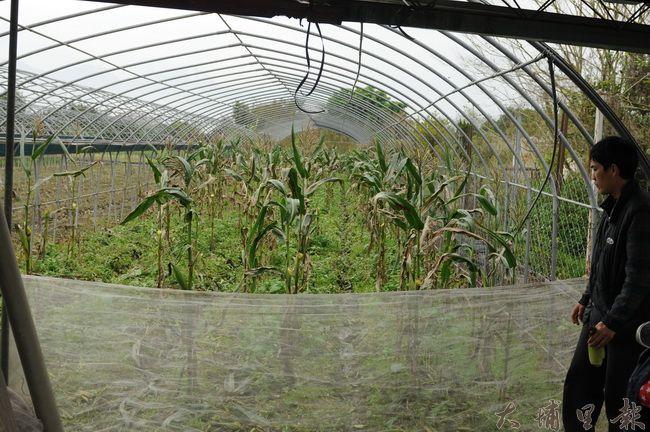 青年農民洪健智玉米即將收成,卻被竊盜集團覬覦,整園的玉米被偷。(柏原祥攝)