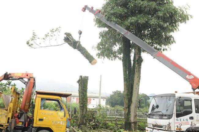 雖然植樹人黃炳松到場抗議,埔里鎮公所仍繼續修剪黑板樹。(柏原祥攝)