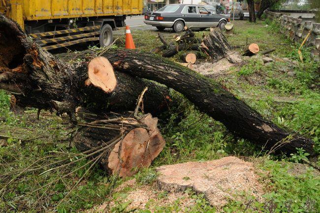 黃炳松指出,被砍除的柳樹樹頭很穩固,樹根沒有翻起,卻被公所整個斷頭,喪失生機。(柏原祥攝)