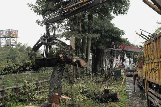 埔里鎮公所除了砍除倒伏柳樹,也執行黑板樹修剪及環境整理工作。(柏原祥攝)
