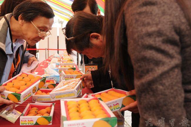 評審仔細比較枇杷果粒的形狀與成色,選出最優質的枇杷。(柏原祥攝)
