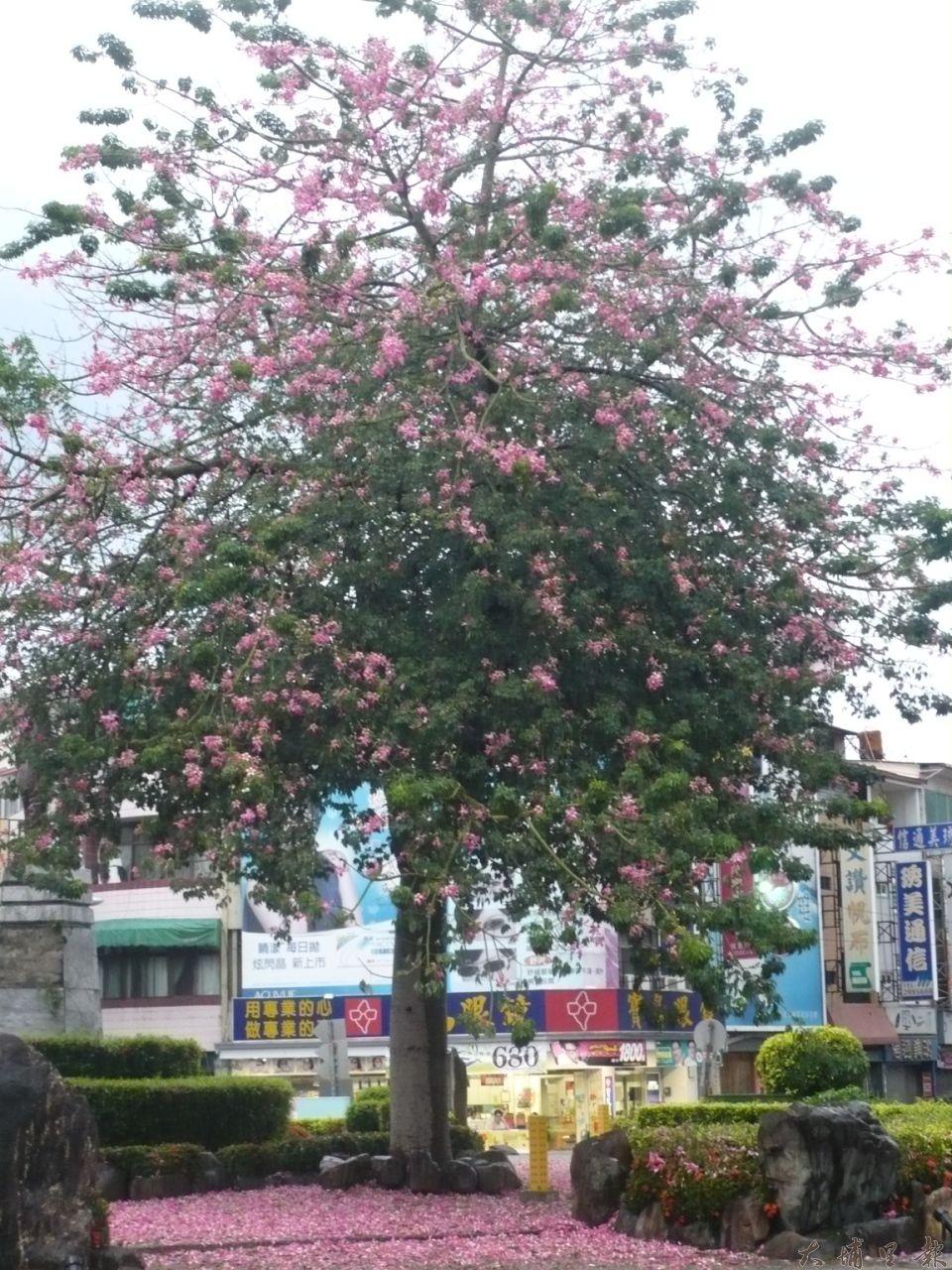 埔里仁愛公園旁的圓環美人樹,花開景象讓人驚艷,被公所以遮檔視線為由砍除。(柏原祥翻攝)