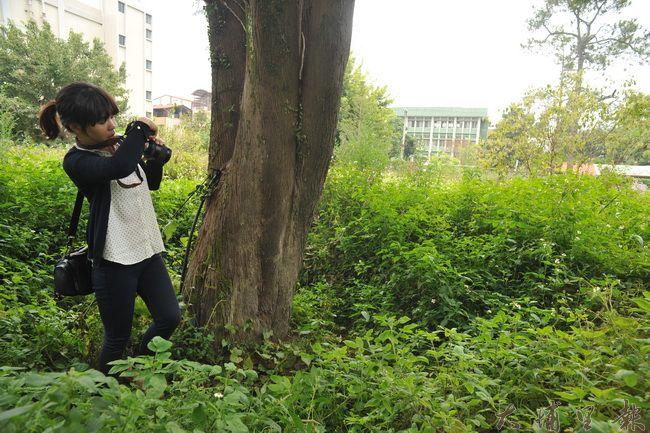 北門段47、48、51地號為林管處埔里工作站舊宿舍區,土地上有多棵樹齡約40年以上的大樹。(柏原祥攝)