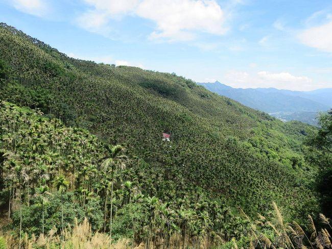 國姓鄉64林班地原為綿密的檳榔園,有租地地主與護生團體合作,試圖在園中復育原生樹種森林。(台灣山林復育協會提供)