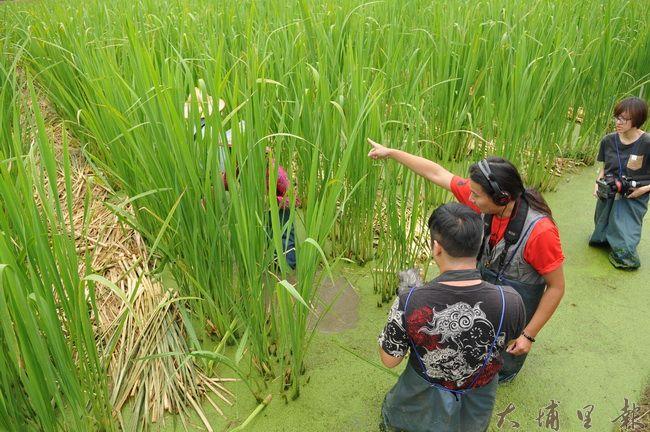 紀錄片導演劉又麒(右二)與伙伴身著青蛙裝下田,記錄茭白筍農人工作的過程。(柏原祥攝)