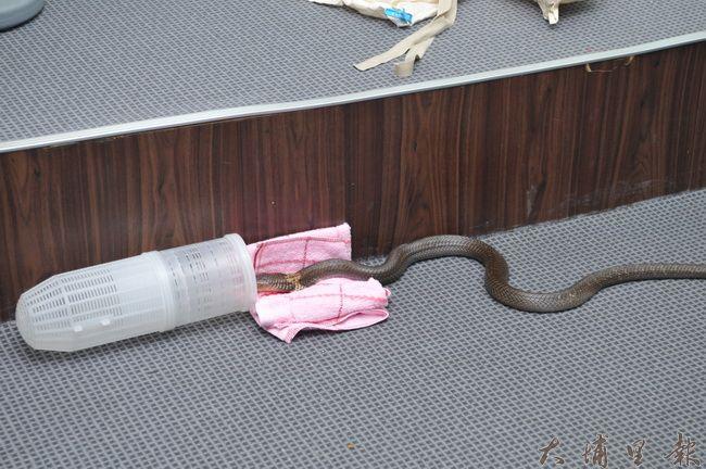 將蝦籠放在蛇行進的動線,利用爬蟲類的習性友善捕捉。(柏原祥 攝)