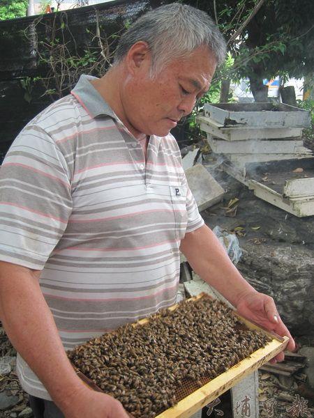 蜂場主人正觀察蜜蜂培育狀況。(金城嚴 攝)