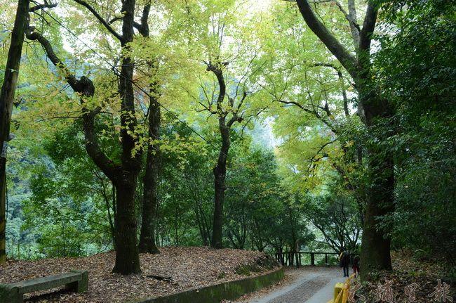 奧萬大森林遊樂區雖無巨木,但步道旁有不少大樹,林管處表示會定期巡視是否有安全顧慮。(柏原祥攝)