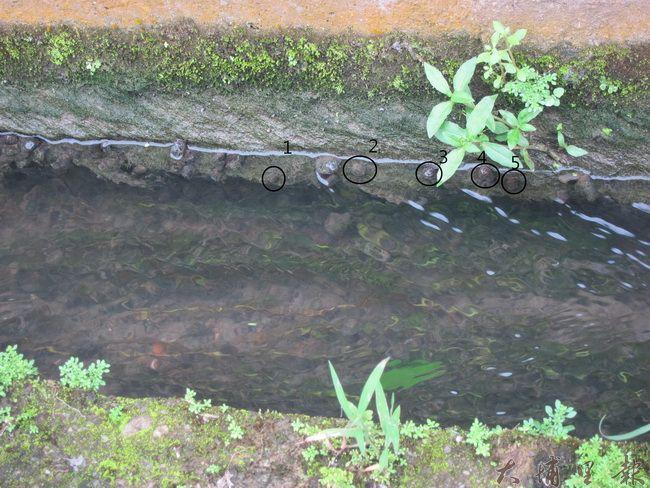 往乾淨的溝渠一探,發現還是有小蛤蠣在裡面唷!(金城嚴 攝)