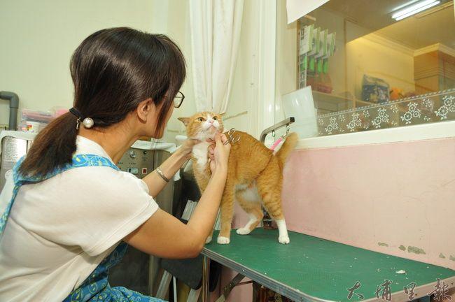 看似溫馴的貓狗,進到寵物美容店這類陌生環境,容易發生緊迫反應,凶性大發,經常造成從業人員傷害。(柏原祥 攝)