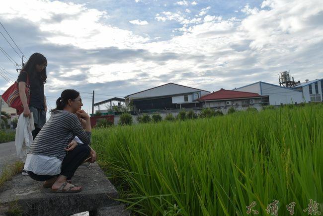 籃城公田的稻穗,量少品質高。(金城嚴 攝)