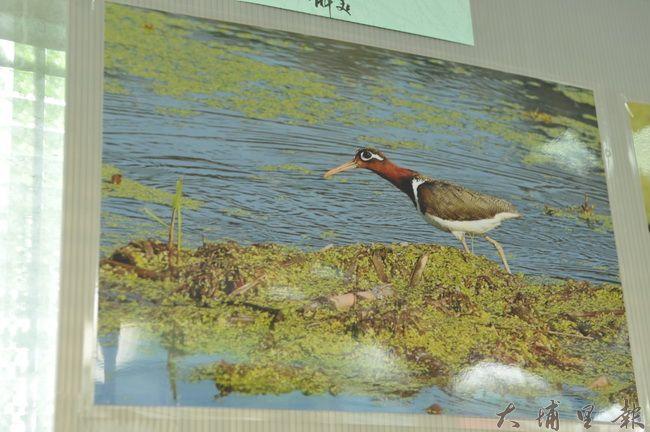 房里社區舉辦鳥類生態攝影作品展,圖中的彩鷸(母鳥)是代言社區的野鳥。(房里社區提供 柏原祥翻攝)