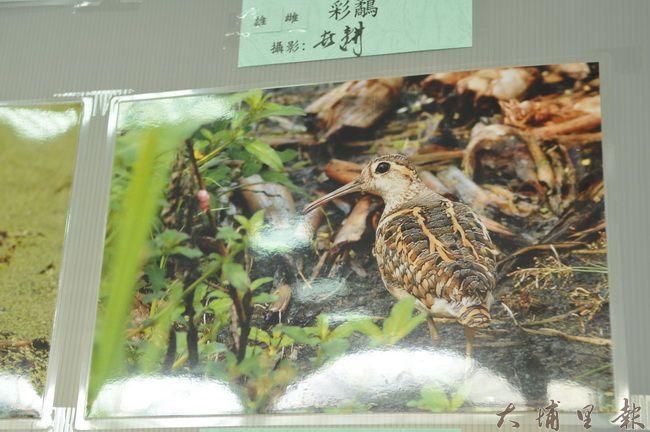 房里社區舉辦鳥類生態攝影作品展,圖中的彩鷸(公鳥)是代言社區的野鳥。(房里社區提供 柏原祥翻攝)
