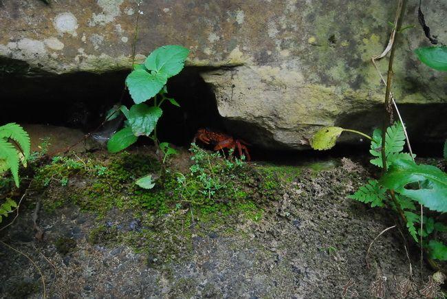 連狹縫裡的淡水蟹都探頭出來證實埔里的好水質。(金城嚴 攝)