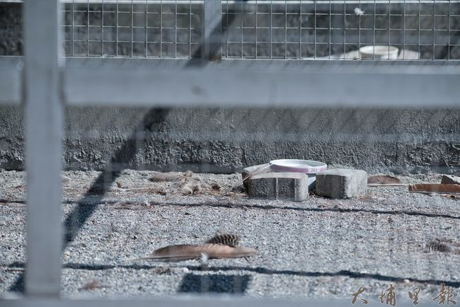 南投日月潭孔雀園BOT建設飯店的計畫,孔雀已標售送離,10月31日園區正式關閉,鳥籠僅剩殘存的羽毛。(Rockie Sheu 攝)