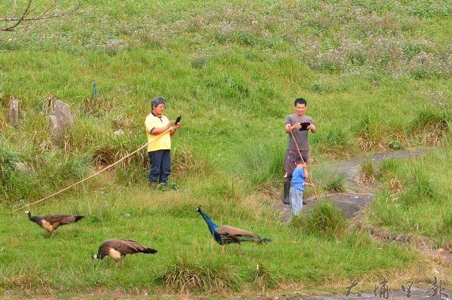 日月潭孔雀園關閉前一日,飼養員進到園區草皮內,以手機留下最後工作的身影。(柏原祥攝)