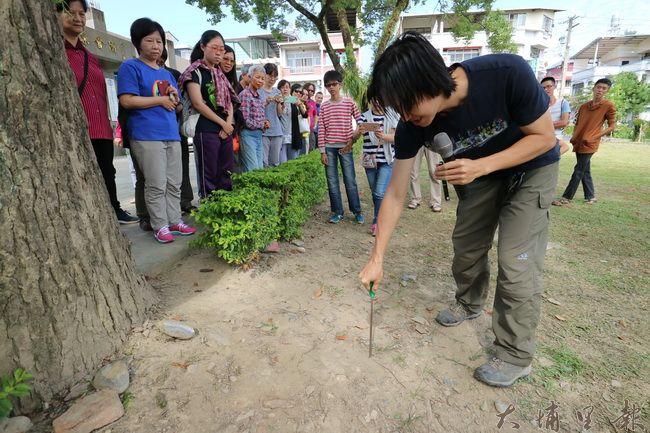 樹木專家林暐翔至泰安里活動中心開課,螺絲起子鑽地,卻發現鑽不到20公分。(野自 攝)