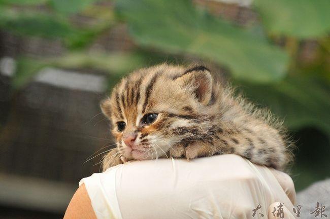 石虎小的時候非常可愛,但牠畢竟是猛獸,不適合人類當成家貓飼養。(特生中心林育秀提供)
