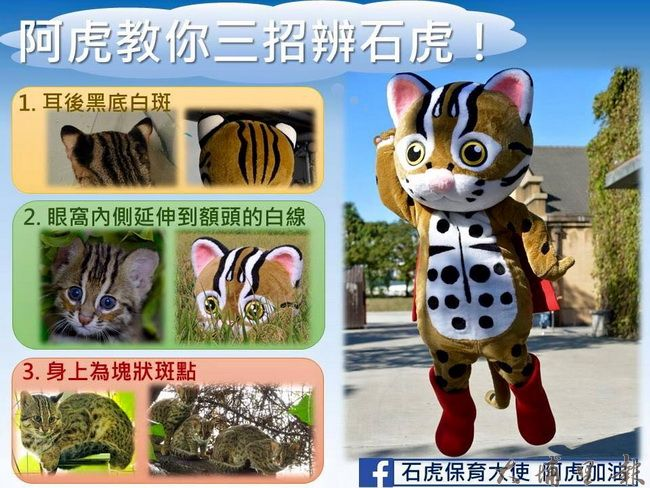 石虎跟虎斑貓長得很像,但仔細分辨外觀還是有很大差異。(特生中心林育秀提供)