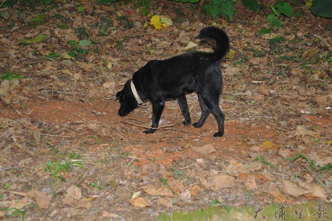 暨大校犬「喬妹」日前車禍過世,火化後骨灰葬在校內,有其他校犬徘徊現場,似乎也在悼念。(柏原祥 攝)