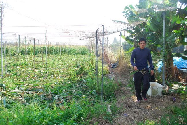 南投青農洪建智拿著自家玉米的穗,與農友比較其飽滿度、色澤,判斷水澆得夠不夠。(金城嚴 攝)