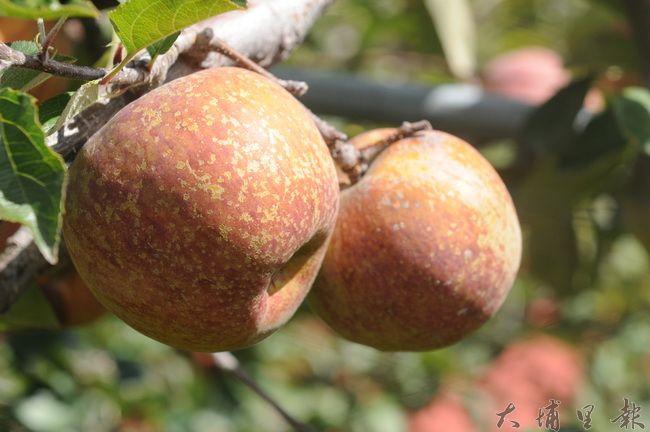 蜜蘋果個頭相較進口蘋果小,果皮像是長滿鏽斑,但因為口感甜脆,又有蜜腺,是行家喜愛的水果。(柏原祥攝)