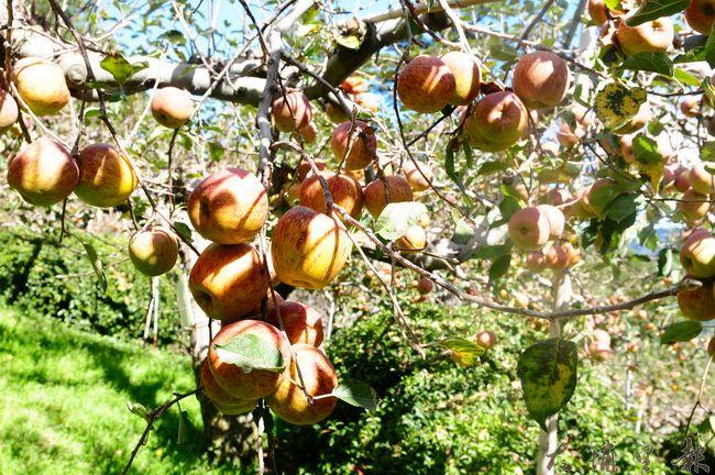 每年12月是高山蜜蘋果的產季,果樹上結實纍纍。(柏原祥攝)