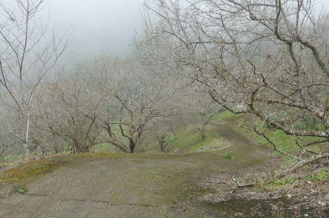 因暖冬、雨水稀少等氣候因素,國姓鄉梅花花期延後,圖為九份二山七號觀景台梅園景象。(柏原祥 攝)