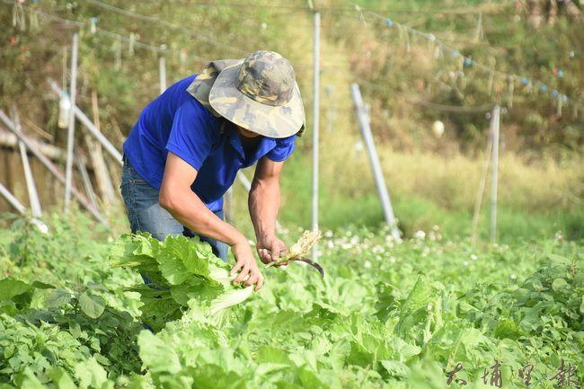 返鄉青農張訓銘,忙著收割田裡第一次試種的芥菜,待會就要運去給顧客。(金城嚴 攝)