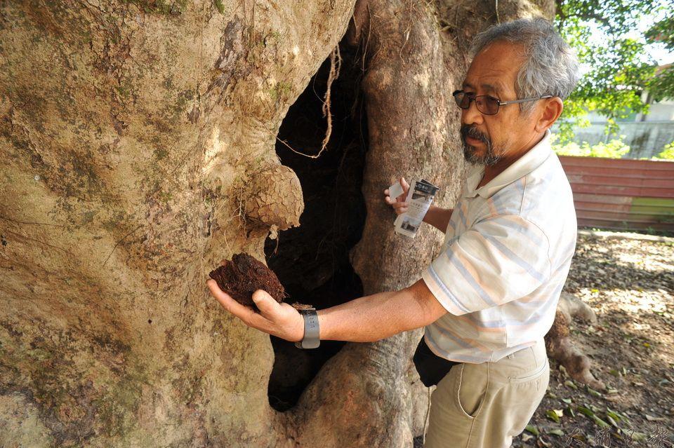 吳宗憲徒手在茄苳樹王公中空的樹幹裡掏出腐朽軟爛的木質表示,從常識就可以看出老樹健康不佳。(柏原祥 攝)
