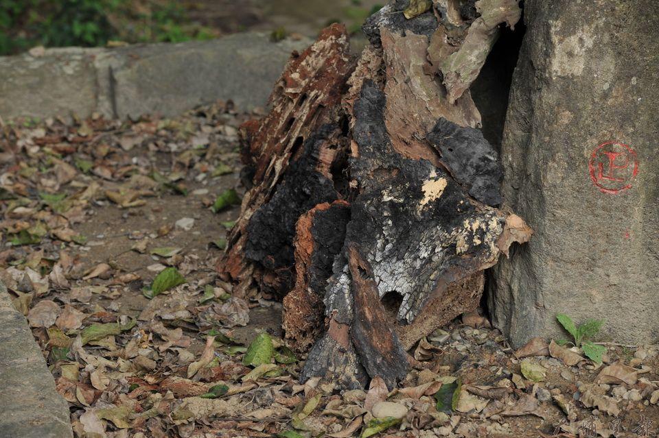 千年茄苳樹王公主幹曾被火燒過,民宿主人吳宗憲整理出已呈碳化的木質。(柏原祥 攝)