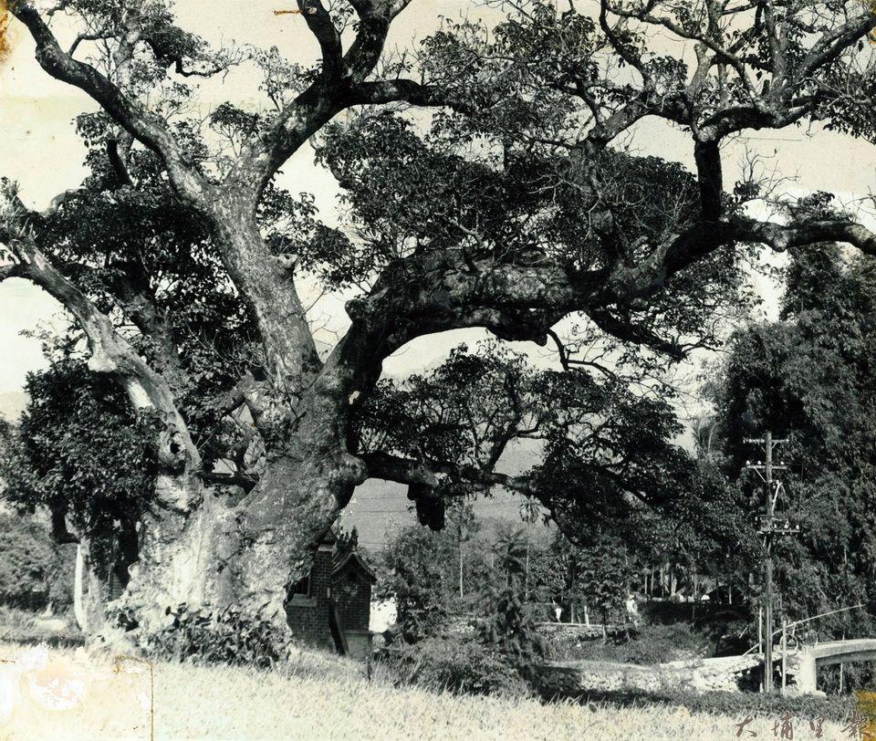 千年茄苳樹王公的老照片,可以見到樹冠廣被、氣勢宏偉。(圖片來源/埔里影像故事館)