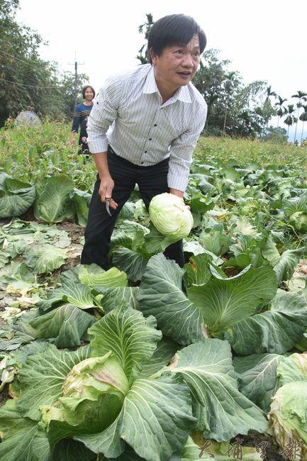 民眾西裝脫了就下田,忙著採收高麗菜。(金城嚴 攝)